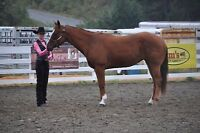 4-H/youth quarter horse mare