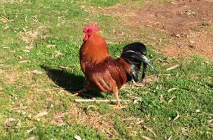 Free father-and-son roosters Cowaramup Margaret River Area Preview
