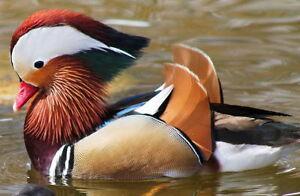 Ornamental Pheasants and Waterfowl