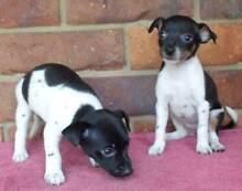Mini Foxie Boy & Girl Puppies...... Greenbank Logan Area Preview