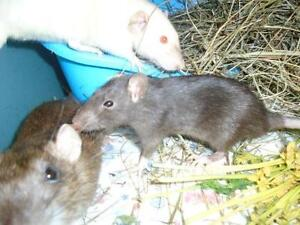 "Young Female Small & Furry - Rat: ""Sierra"""