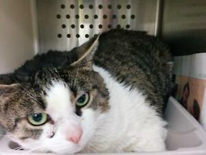 "Adult Female Cat - Domestic Short Hair: ""Chlo"""