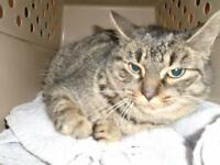 """Young Female Cat - Domestic Short Hair: """"30770678"""""""