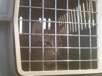 """Baby Male Cat - Domestic Short Hair: """"29493337"""""""