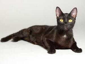"""Young Female Cat - Domestic Short Hair: """"Lucy"""""""