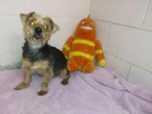 FOUND- Small black & tan male yorkshire terrier
