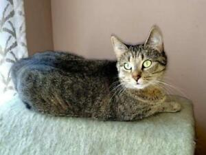 "Adult Female Cat - Tabby: ""Chloe"""