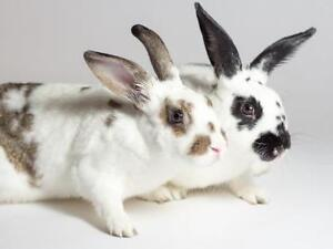 "Young Female Rabbit - American: ""Cookie & Peanut"""
