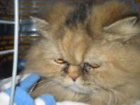 "Adult Female Cat - Persian: ""Mitzy"""