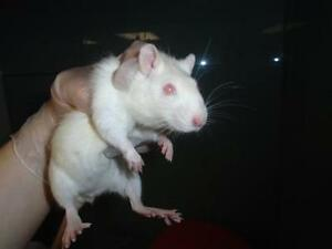 "Young Female Small & Furry - Rat: ""India"""