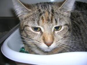 "Adult Female Cat - Tabby: ""Lil One"""