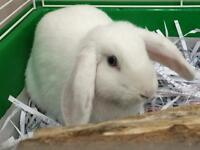 "Adult Female Rabbit - Lop Eared: ""Maria"""