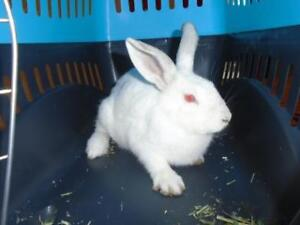 """Young Female Rabbit - Bunny Rabbit: """"Loulou"""""""