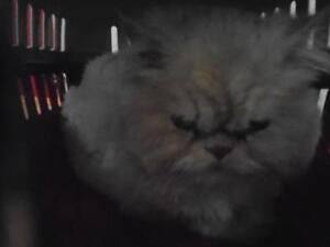 "Adult Male Cat - Persian-Domestic Short Hair: ""35675751"""