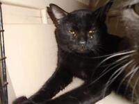 "Baby Male Cat - Domestic Short Hair: ""Slinky"""