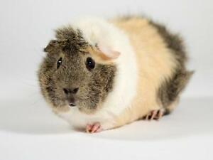 """Young Male Small & Furry - Guinea Pig: """"Squirt"""""""