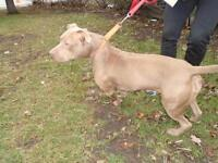 """Young Female Dog - Pit Bull Terrier: """"Boo"""""""