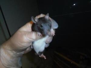 "Baby Male Small & Furry - Rat: ""Oscar"""