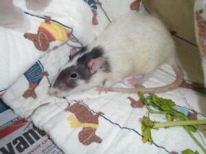 "Young Female Small & Furry - Rat: ""Pepper"""