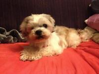 "Senior Male Dog - Shih Tzu: ""Arnie"""