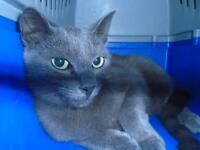 "Young Female Cat - Domestic Short Hair: ""29775674"""