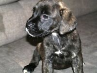 Staffie Cane Corso Cross puppies for sale