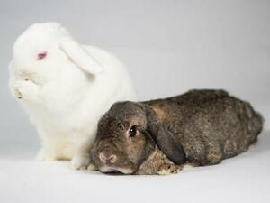 """Young Female Rabbit - Lop Eared: """"Salt and Pepper"""""""