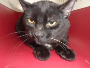 Young Male  - Domestic Short Hair-Domestic Short Hair