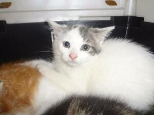 """Baby Male Cat - Domestic Short Hair: """"Snow"""""""