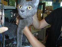 "Young Female Cat - Domestic Short Hair: ""Smokie"""