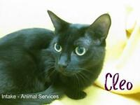 "Adult Female Cat - Domestic Short Hair: ""Cleo"""
