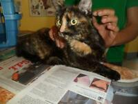 "Young Female Cat - Domestic Short Hair: ""Twixie"""
