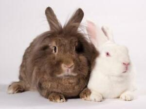 "Young Female Rabbit - Lionhead-Angora Rabbit: ""Lucy and Bishop"""