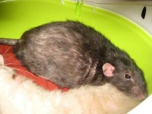 "Young Male Small & Furry - Rat: ""Guizmo"""