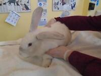 "Adult Female Rabbit - Bunny Rabbit: ""Lola"""