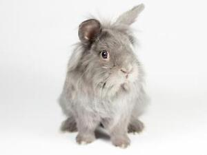 "Young Male Rabbit - Lionhead: ""Wispa"""