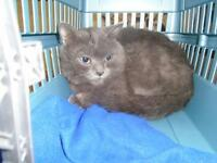 "Young Male Cat - Russian Blue: ""Raymond"""