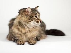 "Young Male Cat - Domestic Medium Hair: ""Bruce"" Kingston Kingston Area image 2"