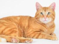 "Young Male Cat - Domestic Short Hair: ""Henry"""