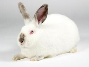 """Young Female Rabbit - Californian: """"Ivory"""""""