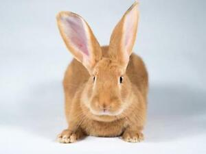 "Young Female Rabbit - Californian-Bunny Rabbit: ""Autumn"""