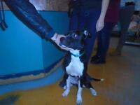 """Baby Male Dog - American Staffordshire Terrier: """"Denzo"""""""
