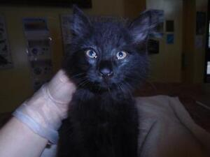 """Baby Male Cat - Domestic Long Hair: """"33544593"""""""