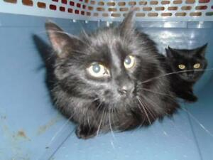 Baby Female  - Domestic Medium Hair-Domestic Short Hair
