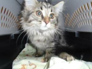 "Baby Female Cat - Domestic Long Hair-Domestic Short Hair: ""Bush"""