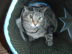 """Adult Male Cat - Domestic Short Hair: """"Reily"""""""