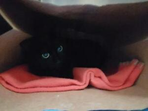 """Young Female Cat - Domestic Short Hair: """"Pois-Chiche"""""""