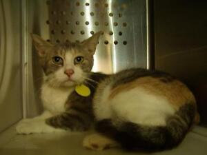"Young Female Cat - Domestic Short Hair: ""Mama"""
