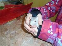 "Young Male Small & Furry - Gerbil: ""Simon"""