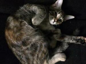 "Baby Female Cat - Tabby: ""Susan"""